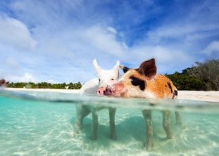 BOI-Exuma-Bahamas-Swimming-Pigs